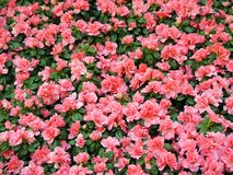 Field of azalea flowers Stock Photos