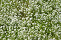 Field of baby breath flowers. Field of gypsophila paniculata baby breath flowers stock photos