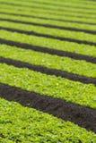 Field of baby lettuce leaf salad plants. Field of baby lettuce leaf salad plant leaves Royalty Free Stock Photo