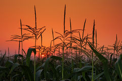 Field on background of a sunset. Stock Image