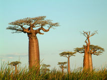 Field of baobabs. Baobab trees in madagascar Royalty Free Stock Image