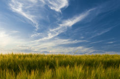 Field of barley Stock Images