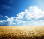 Field of barley Royalty Free Stock Images