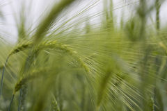 Field of barley. Detail, agriculture barley countryside grain packed spring village Stock Images