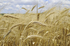 A field of barley Royalty Free Stock Photo