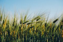 Field of barley Royalty Free Stock Photos