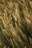 Field of barley royalty free stock photos