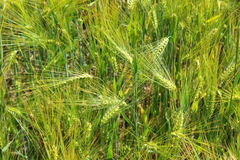 Field of barley with barley ears. Field of barley with some barley ears royalty free stock photography