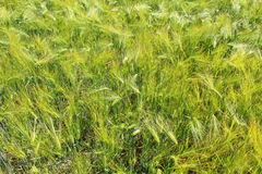 Field of barley with barley ears. Field of barley with some barley ears stock images