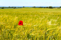 Field of barley with a single corn poppy Stock Photo
