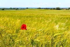 Field of barley with a single corn poppy Stock Photo