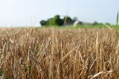 Field of barley, close up stock images