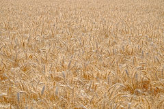 Field of ripe Barley Royalty Free Stock Images
