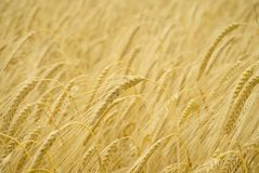 Ears of Barley. A closeup of barley with ears bowed almost ready for harvesting Royalty Free Stock Images