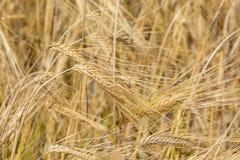 Field of barley ears stock image