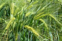 Field of barley with barley ears. Field of barley with some barley ears royalty free stock photo