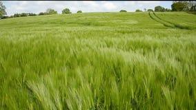 Field of Barley stock video footage