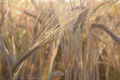 Field with barley at harvest at sunset. Closeup on golden wheat field. stock photo