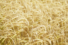 Field of Barley (Hordeum vulgare). Stock Photography