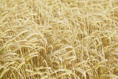 Field of Barley (Hordeum vulgare). Royalty Free Stock Photography
