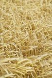 Field of Barley (Hordeum vulgare). Stock Image