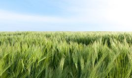 Field with barley Stock Photos