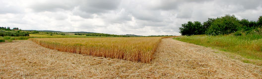 Field of Barley. Barley Field in the land of Israel royalty free stock photos