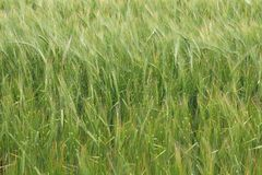 Field of barley Stock Image