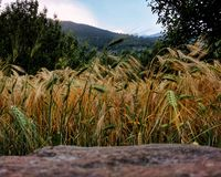 Field of barley with mountains stock photography