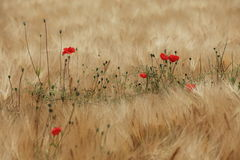 Field of Barley and Poppies Stock Photography