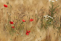 Field of Barley and Poppies Royalty Free Stock Images
