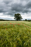 Field of Barley - Red Poppies - Poppys - North Yorkshire. A field of barley with some poppies and dark clouds, North Yorkshire, UK Stock Photos