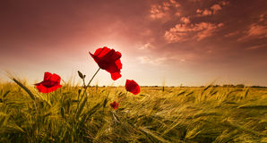 Field of barley and red wild poppies Royalty Free Stock Image