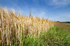 Field of Barley Stock Photography