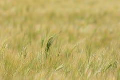 Field of Barley stock photos