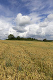 Field of Barley in the storm summer country Landscape Royalty Free Stock Images