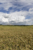 The Field of the Barley in the summer storm Day Royalty Free Stock Image