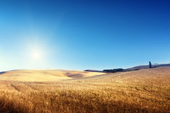 Field of barley in Tuscany Royalty Free Stock Image