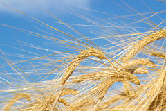 Field of Barley or Wheat Growing in the sun Stock Images