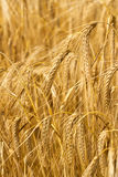 Field of Barley or Wheat Growing in the sun Stock Image