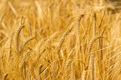 Field of Barley or Wheat Growing in the sun Stock Photo