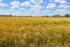 Field of barley. In Wiltshire Royalty Free Stock Photo