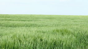 Field of barley stock footage