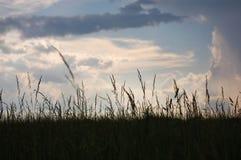 Barnyard Grass. A field of Barnyard Grass just after a thunderstorm stock photography