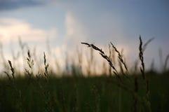 Barnyard Grass. A field of Barnyard Grass just after a thunderstorm royalty free stock photos