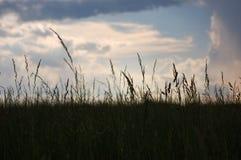 Barnyard Grass. A field of Barnyard Grass just after a thunderstorm stock image