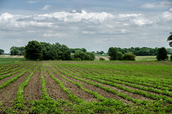 Field of bean crops on a farm Royalty Free Stock Photography
