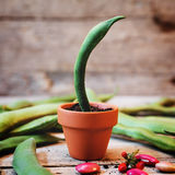 Field bean in a plant pot Royalty Free Stock Images