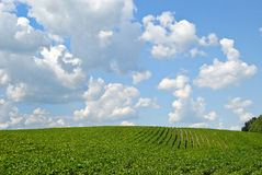 Field of Beans Royalty Free Stock Image