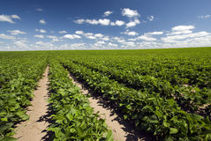 Field of beans on a sunny day Stock Images